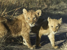 Kenya lion cubs %28c%29 wwf canon roger hooper