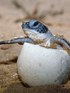 sea turtle hatching Mexico