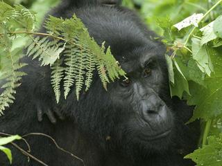 GorillaMID 258598
