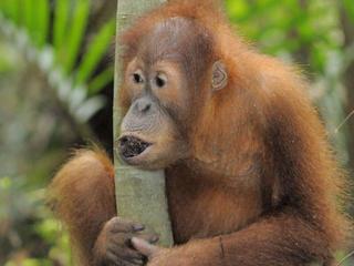 orangutanMID 255219