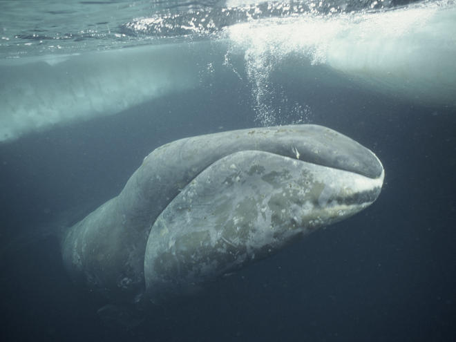 Bow head whale