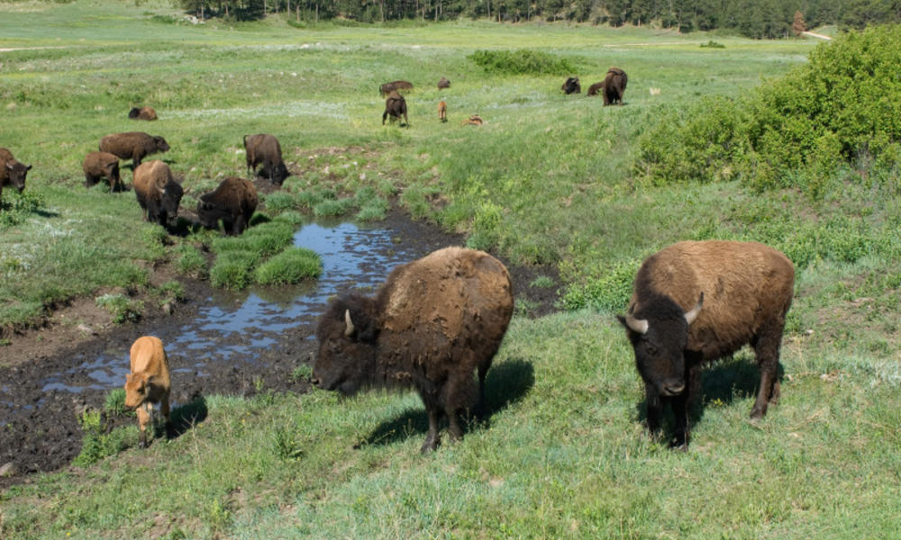 Bison grazing in field
