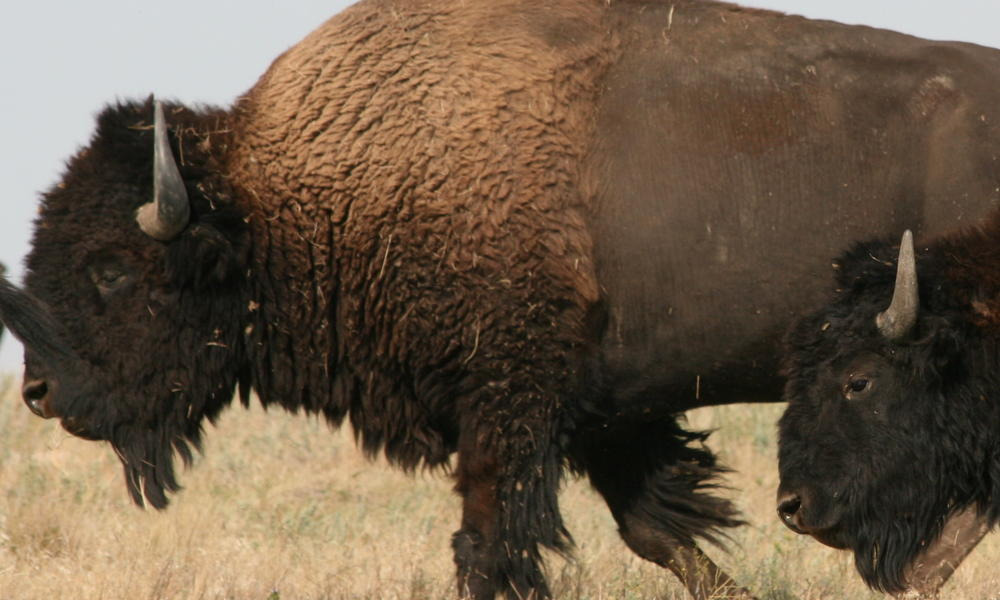 Buffalo in badlands