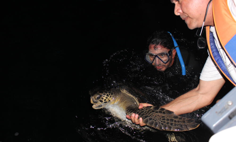Green Turtle Capture