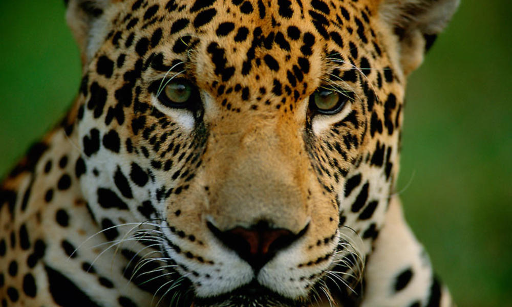 Close up of a jaguar's face