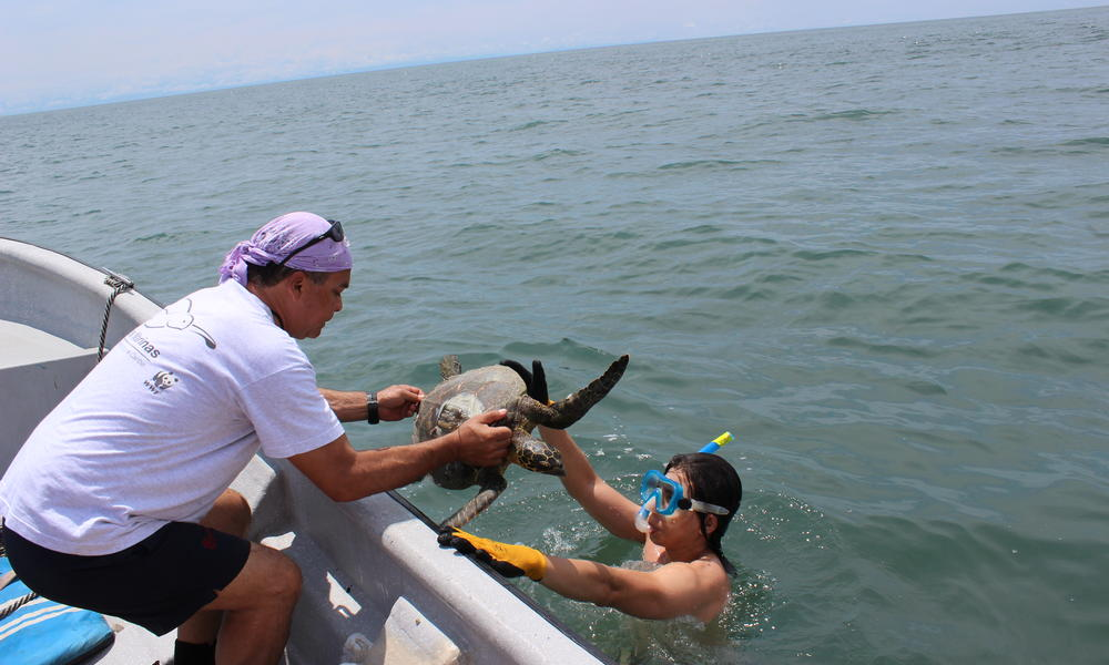 7-Release satellite tag hawksbill turtle Gorgona Island Colombia Molly Edmonds