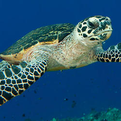 Help Hawksbill Turtle by supporting WWF