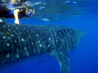 Whale Shark   Swimmer P8070157b (c) Astrid Frisch