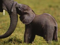 Babyelephant2