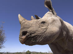 Gpn257587 black rhino
