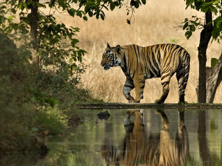 Bengal tiger male walking beside lake in India