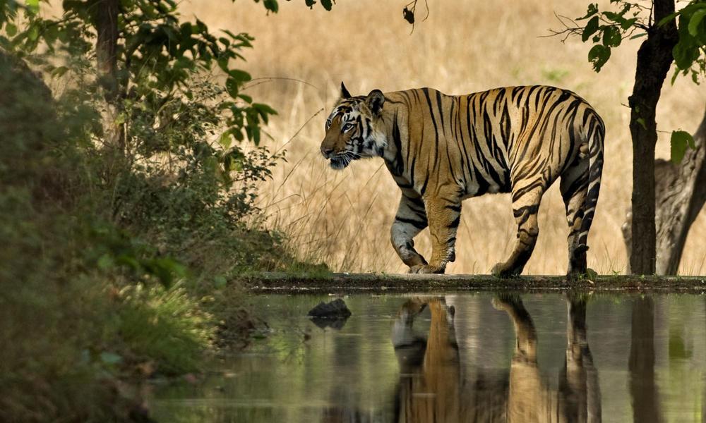 Bengal tiger male walking beside lake in India