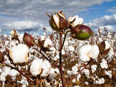Cotton_fields