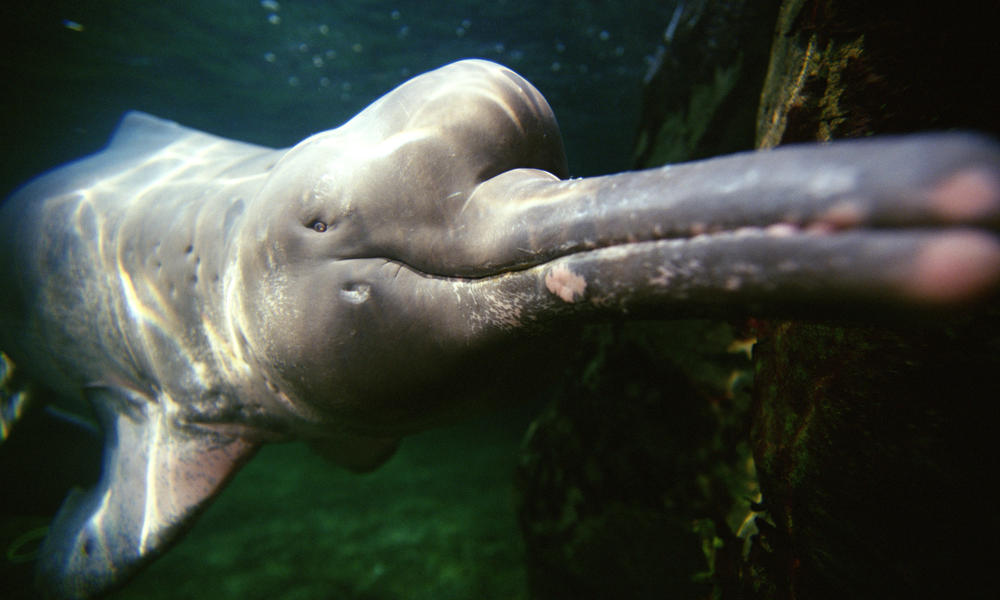 Pink_river_dolphin_hero_image_(c)naturepl.com_todd_pusser_wwf