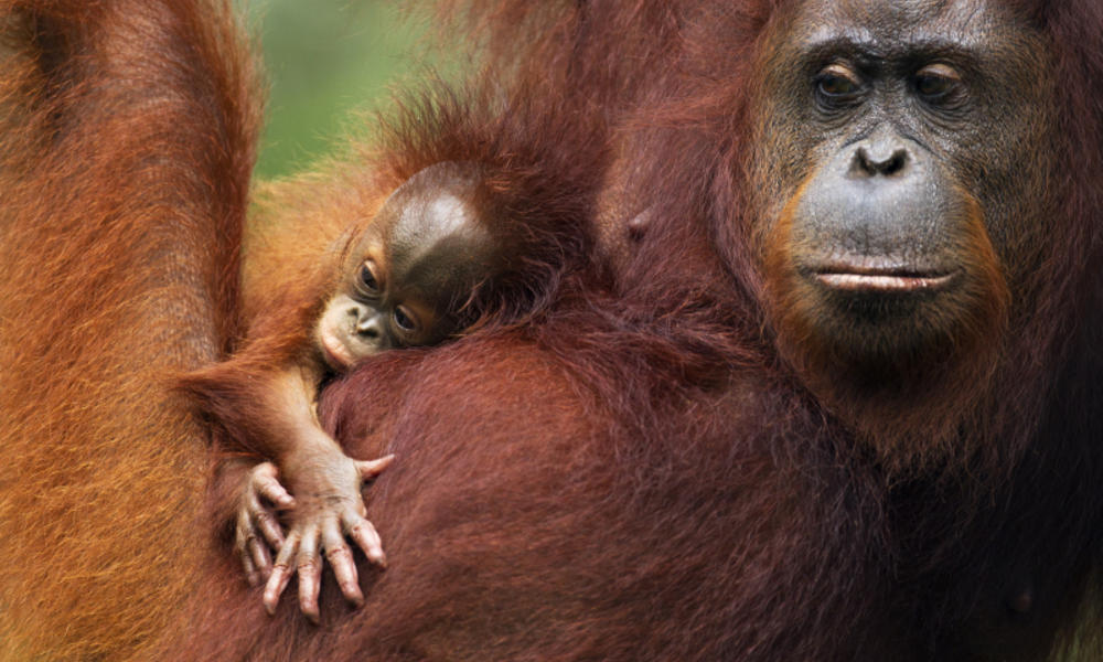 Where Do Orangutans Live? And Nine Other Orangutan Facts | Stories ...