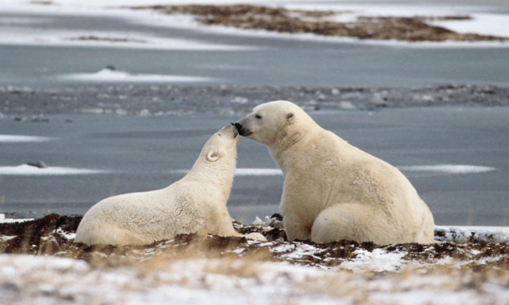 Polar bear cub and mom