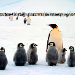 Help Emperor Penguins by supporting WWF