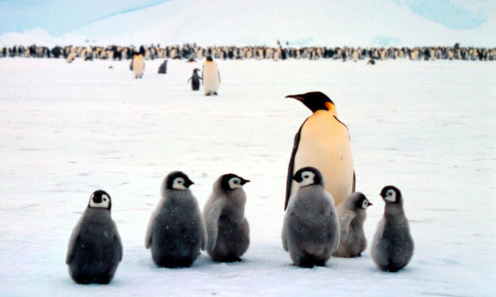 Emperor penguin babies