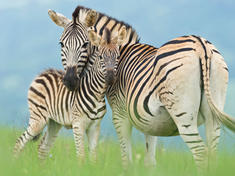 Zebra with foal gpn301203 help