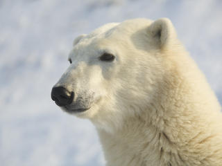 Portrait of a Polar Bear