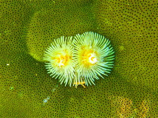 Christmas Tree Worm DeWeese