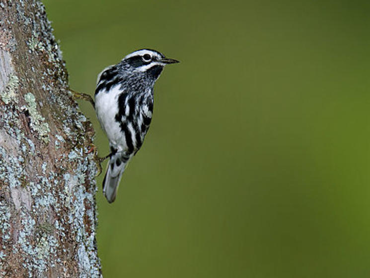 Black and white warbler 1