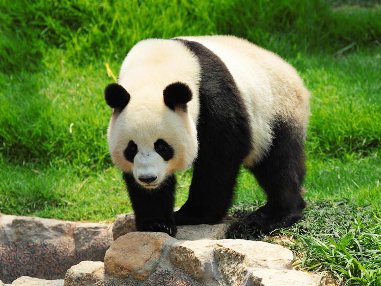 Giant panda shutterstock 86500690