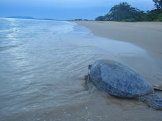 Green turtle back to the sea wwf indonesia  sg. hendratno