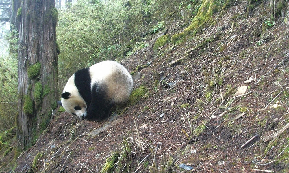 A Peek at Pandas in Their Remote Mountain Habitat | Stories | WWF