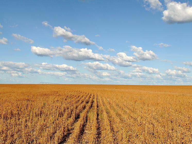 Soy field