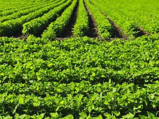 Row crops Blog 1