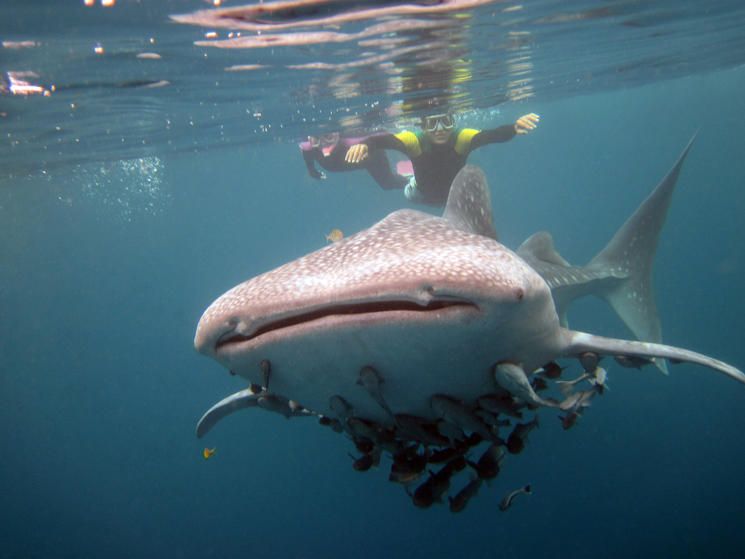 Top Shot Snorkeling With Whale Sharks