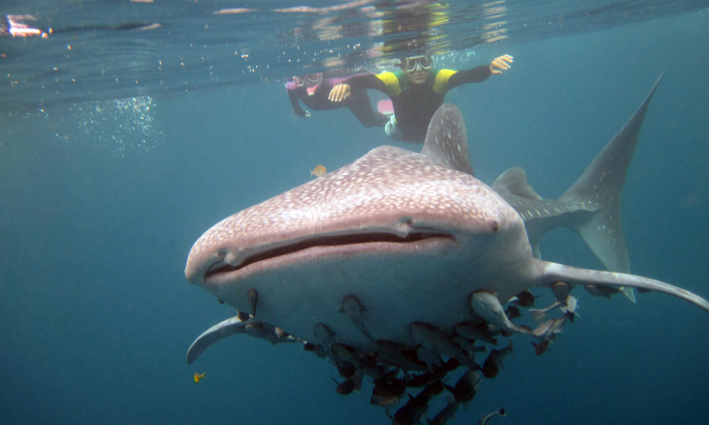 Lee-Whale Shark