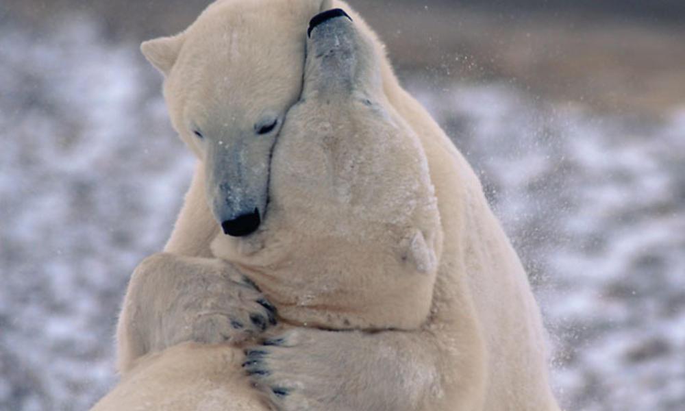 Polar bears play-fight