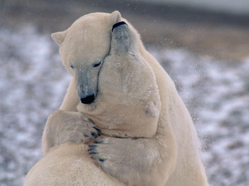 Two polar bears hugging