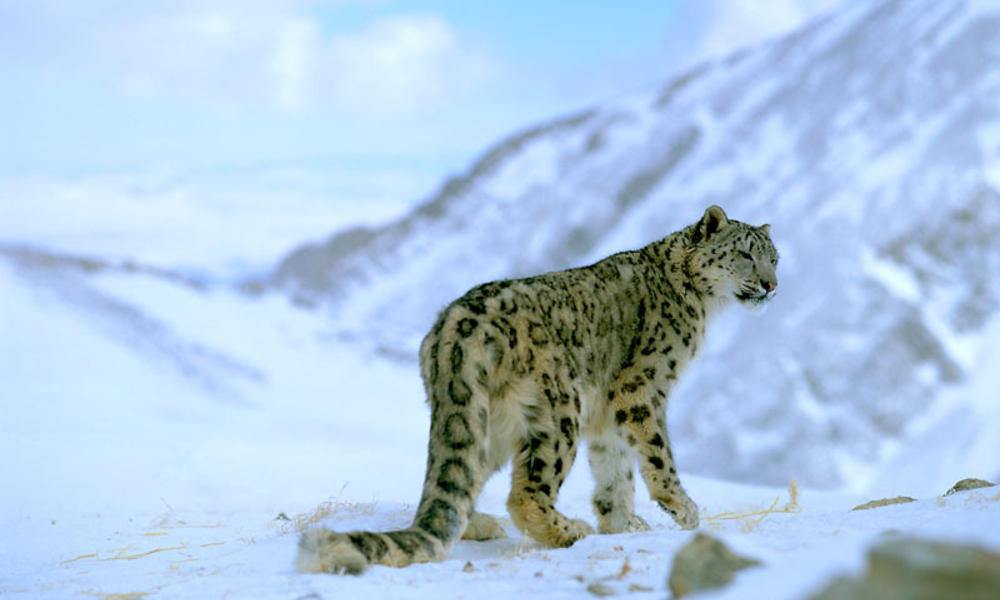 Where Do Snow Leopards Live And Nine Other Snow Leopard Facts