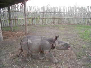 Rhino calf in enclosure