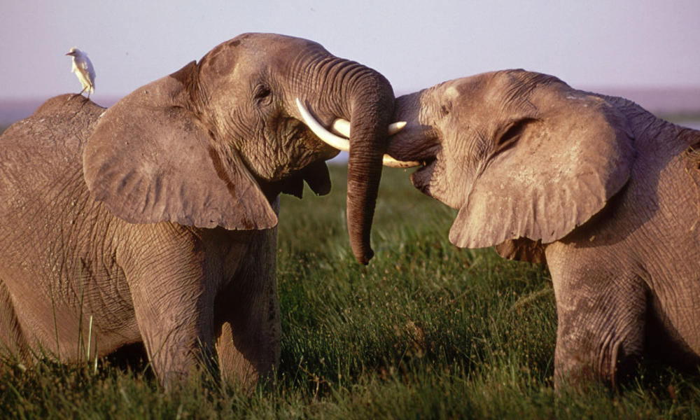 Elephants play fight in Kenya
