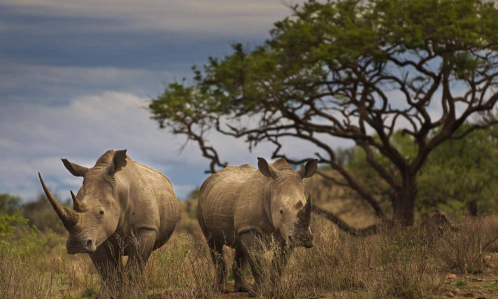 Rhinos in field