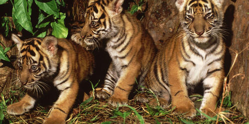 tiger cubs in Sumatra