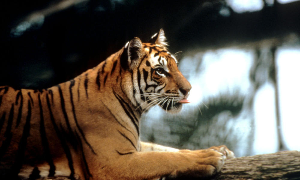 Sumatran tiger, Indonesia