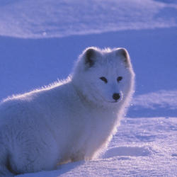 Help Arctic Foxes by supporting WWF