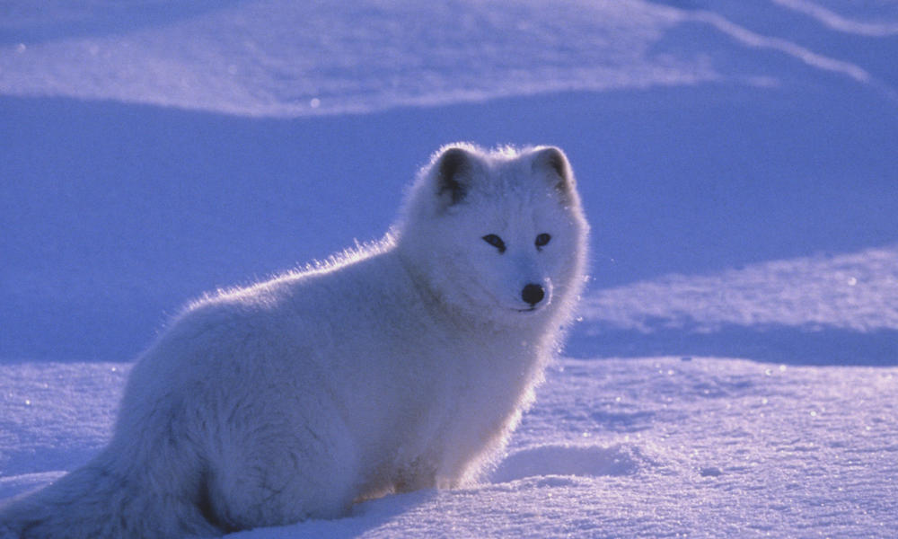 Arctic fox (Alopex lagopus) standing in a snow-covered landscape. Canada
