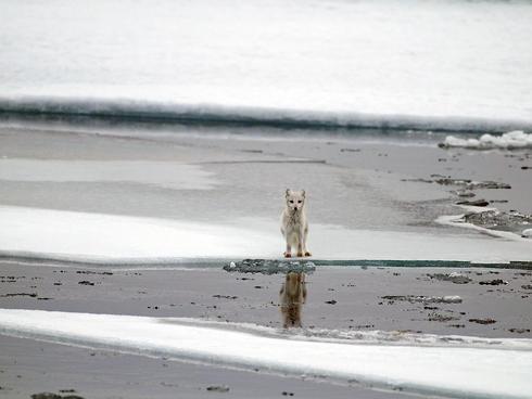 Arctic fox (Vulpes lagopus), Spitsbergen, Svalbard, Norway.