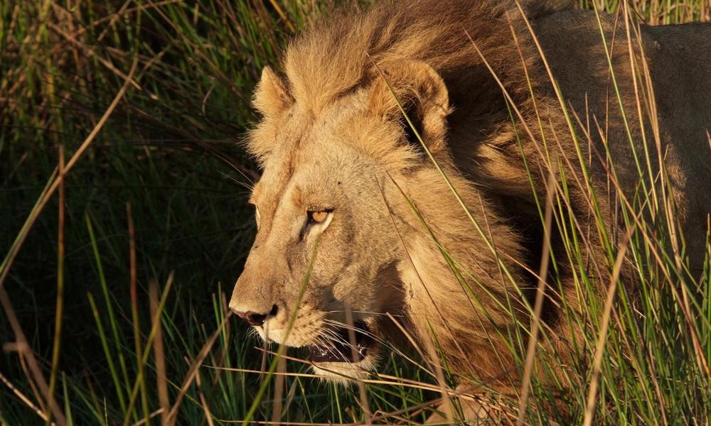 Kramer Lion Botswana