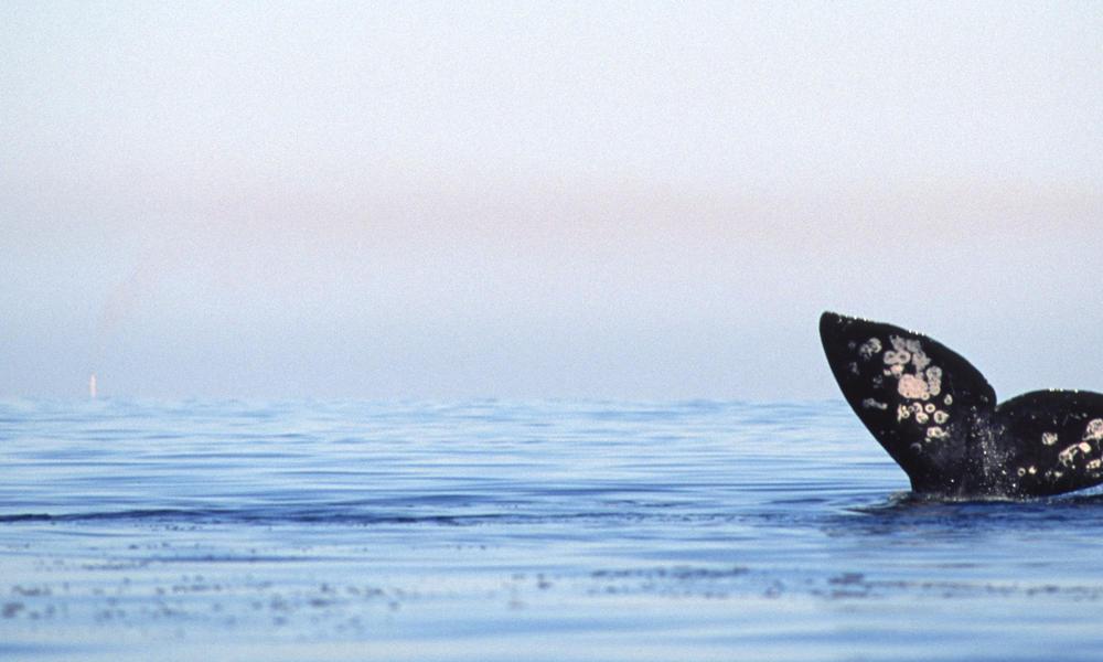 Baja whale tale
