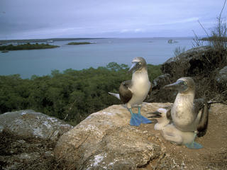 Blue-footed booby pair with chicks
