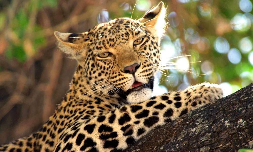 Kramer Botswana Leopard