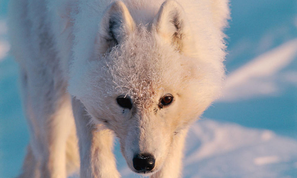 related pictures arctic wolves - photo #3