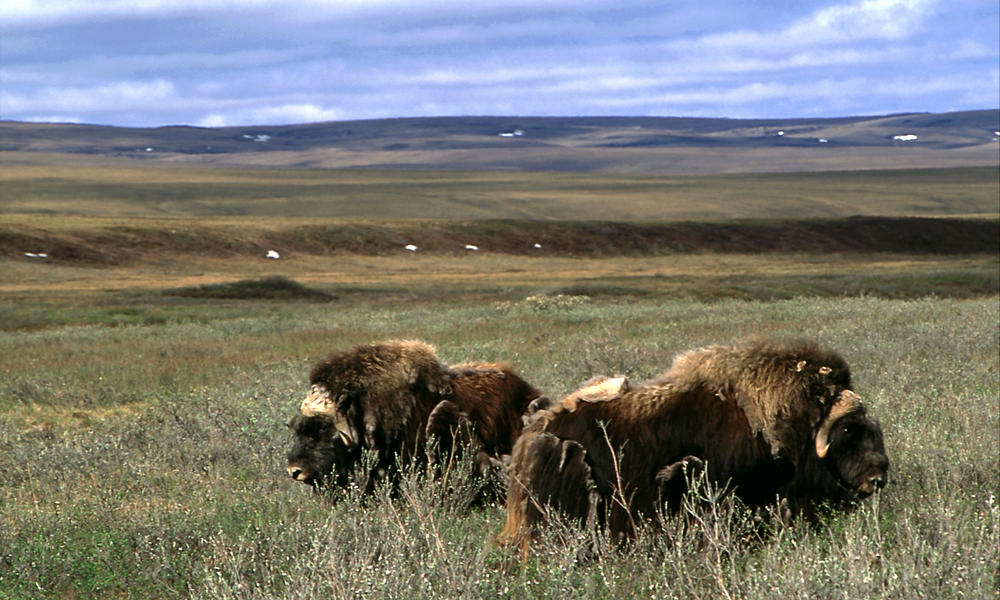 Musk oxen (Ovibos moschatus) in Arctic National Wildlife Refuge, Alaska, United States.